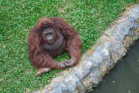 primitivism: Orangutan sit on the grass Stock Photo