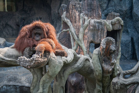 cage gorilla: Orangutan lying on the stone