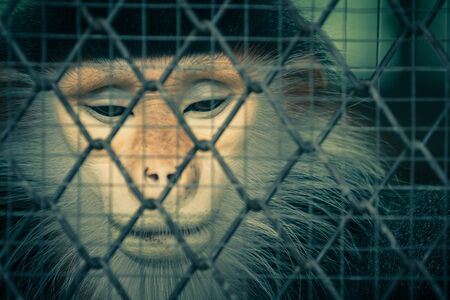 cage gorilla: Crying monkey behind the cage, Process with filter Stock Photo