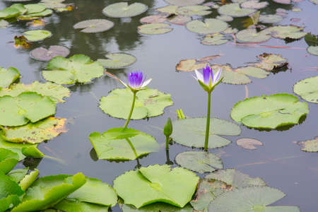 saturated color: beautiful water lily or lotus flower on the pond
