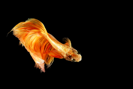 Siamese fighting fish isolated on black background. Fish gold color. Betta Fish yellow on black Background. Black isolate. Space for text. Banco de Imagens