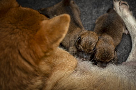 Close-up of a Newborn Shiba Inu puppy. Japanese Shiba Inu dog. Beautiful shiba inu puppy color brown and mom. 1 day old. Baby eating milk from mother.