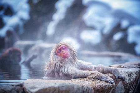 Travel Asia. Red-cheeked monkey. During winter, you can see monkeys soaking in a hot spring at Hakodate is popular hot spring. The snow monkeys soak in Japan.