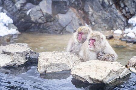 Reizen Azië. Japanse apenfamilie met ouders, kinderen zijn ondergedompeld in de onsen. Roodwangige aap. In de winter kun je apen zien weken in een hete bron bij Hakodate, populair in Japan.