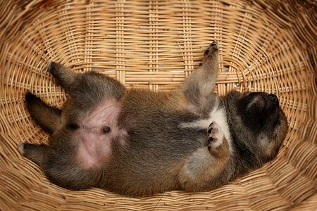 Close-up of a Newborn Shiba Inu puppy. Japanese Shiba Inu dog. Beautiful shiba inu puppy color brown. Puppy in basket.