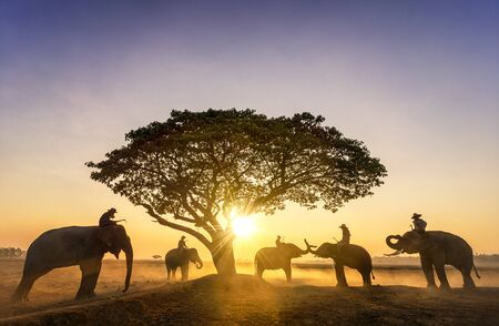 Elephant trainer and Five mahout with three elephants walking to a tree during a sunrise silhouette. vintage style. The activities at Krapho, Tha Tum District, Surin, Thailand. Banque d'images - 131767245