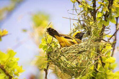 Golden bird. Beautiful bird Asian Golden Weaver on Build a nest for breeding, (Ploceus hypoxanthus).