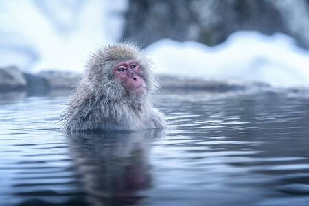 Travel Asia. The Red-cheeked monkey is soaking in the water to relax the cold happily. During winter, You see monkeys soaking at Hakodate is popular hot spring. The snow monkeys soak in Japan.