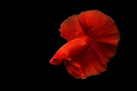 Super red betta fish. Siamese fighting fish isolated on black background. Thailand.
