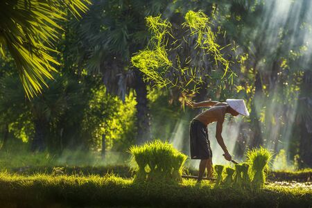 The farmer is cutting the top of the rice plant to make rice field. Lifestyle of Southeast Asian people walking through the rice field countryside Thailand. hard working in the rice fields. Stockfoto