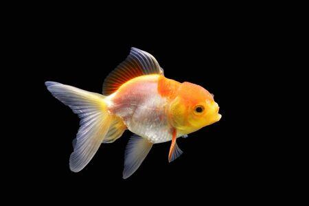 Goldfish isolated on black background. Goldenfish isolated on black background. Thailand.