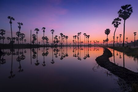 sugar palm (Dongtan) and reflections in the rice fields at the end of the rainy season.
