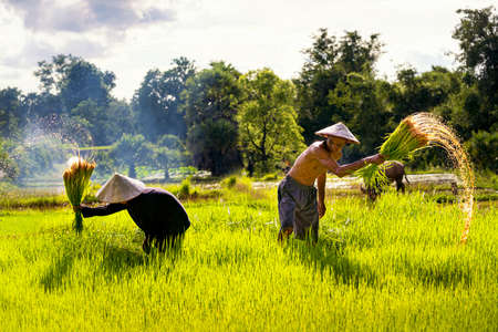 Farmers throw seedlings to colleagues to plant seedlings in the fields. The way of life of Southeast Asian people walking through rural areas rice fields, Sakon Nakhon Province, Thailand. Stockfoto