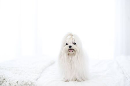 Pet Lover concept. Maltese dog long hair on the bed looking a camera. Happy maltese dog in white bed room.