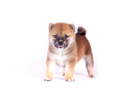 Shiba Inu on a white background. Shiba Inu is a Japanese dog that is famous all over the world.