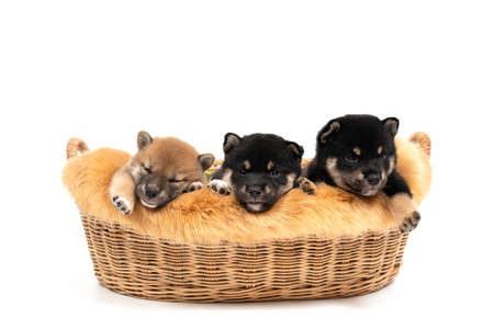 Three Shiba Inu in the basket on white background. Shiba Inu, black and tan, brown. Shiba Inu is a Japanese dog that is famous all over the world. Stockfoto