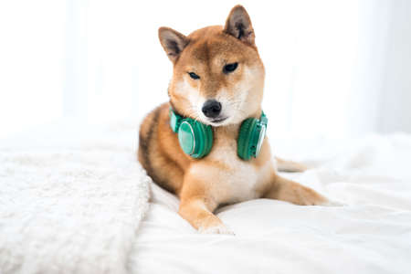 Shiba Inu dogs with headphones, listening to music safely.