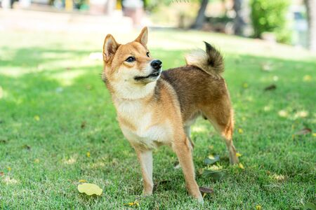 Shiba inu dog playing in the garden. Dog playing in the field.