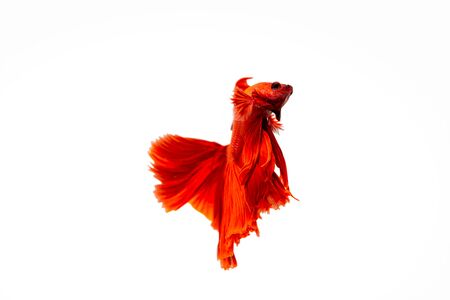 Super red betta fish isolated on white Imagens