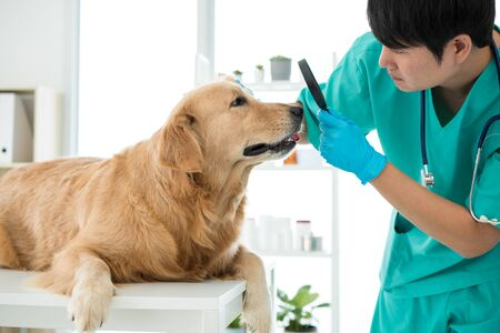 The vet is checking the eyes of the Golden Retriever dog in the hospital examination room.