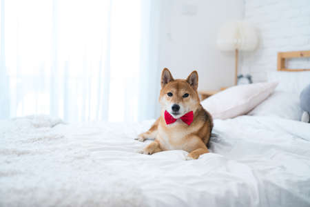 The Shiba Inu dog is lying on the bed in a white bedroom. Stockfoto - 152268320
