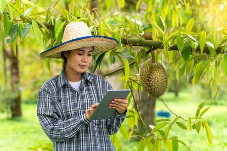 Female farmers showing durian in the durian orchard. Farmers show fruit in the garden.  Asian woman using smartphone in the durian orchard.
