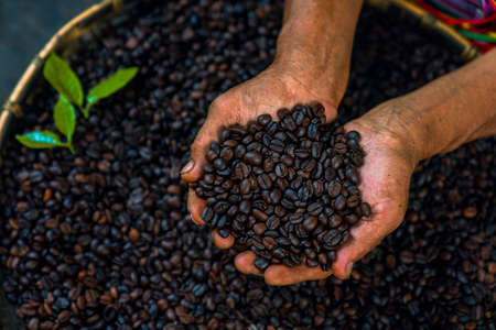 Coffee beans carefully selected in the hand Stockfoto
