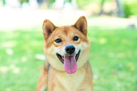 Pet Lover. Shiba Inu dog breed In the park in the spring. Shiba Inu is a dog in the Spitz group of Japan.
