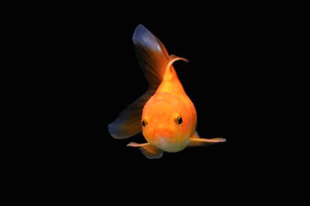 Goldfish isolated on black background. Orange goldenfish isolated on black background. Thailand. Stockfoto