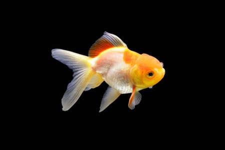 Side goldfish picture. Goldfish isolated on black background. Goldenfish isolated on black background. Thailand. Standard-Bild