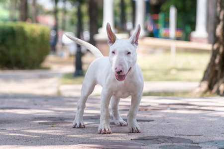 Puppy Dog, A Bull terrier standing in the playground. The Bull Terrier is a breed of dog in the terrier family.