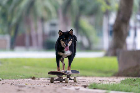 Shiba Inu dog playing skateboard in the park. Japanese dog trying to ride on a skateboard in garden.