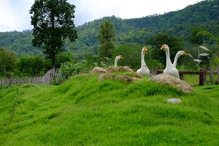 goose on green Stock Photo