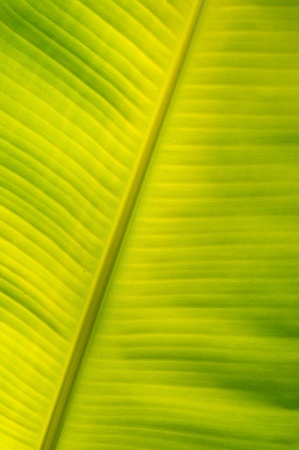 Texture of banana leaf in the sunlight. photo