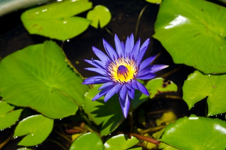 Blossom blue lotus in pot. photo