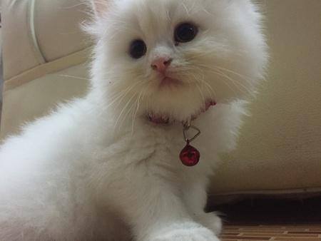 persian cat: New Persian cat in the house