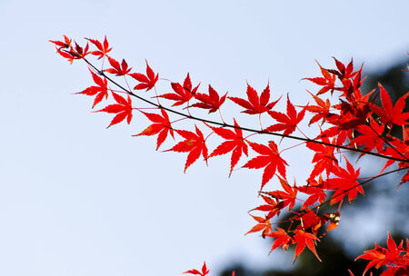 koyo: Closeup Maples