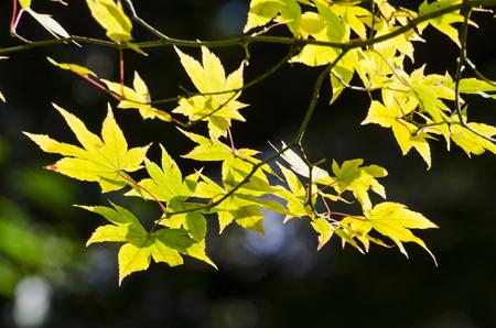 koyo: Maple in the sunlight