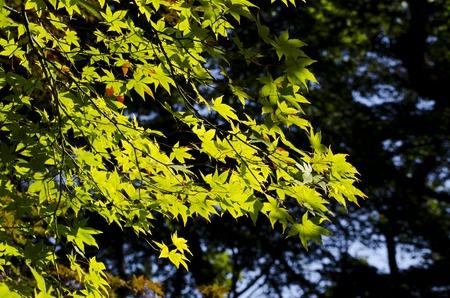 koyo: Green maple in the Autumn