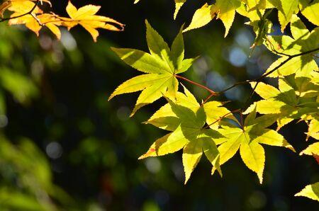 koyo: Beautiful Maple in to the Sunlight Stock Photo