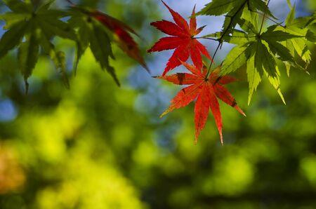 koyo: Green change to Red Maple