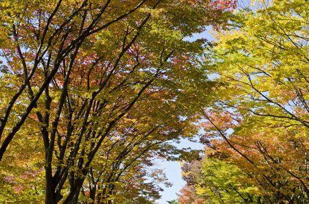 koyo: Autumn Season