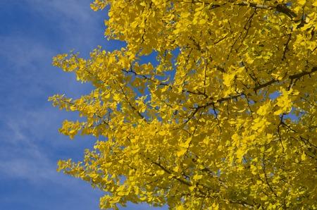 gingko: Yellow leaf Gingko Stock Photo