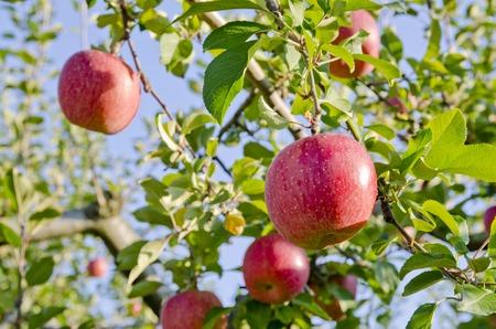 アップル公園の木に赤いリンゴ
