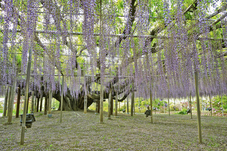muscle fiber: The great wisteria flower. Stock Photo