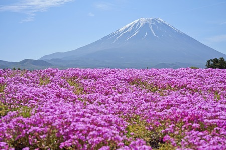 Mt.Fuji and Shibazakura Festival. Stock Photo