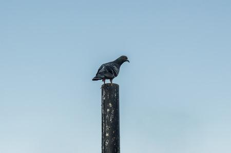 lonesome: Lonesome pigeon