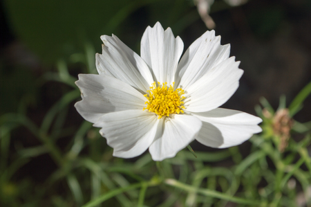 matricaria: Matricaria flower,Flowers are white with yellow stamens in the center.