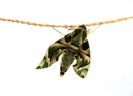 sphingidae: Daphnis nerii, Butterfly fat green body feathers hanging on rope white background