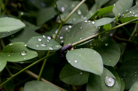 low key lighting: Water droplets on a leaf,Low key lighting Nature. Stock Photo